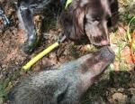 Am 3. August wurde ein totes Wildschwein in der Feldgemarkung Billinghausen an der Diemel gefunden.