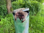 Ein Waschbär wurde in einer Mülltonne entsorgt.