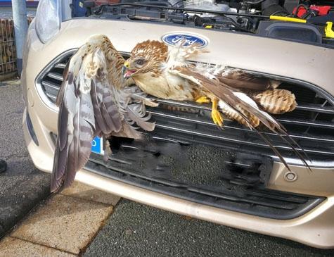 Wildunfall auf der B 252 bei Arolsen: Dieser Greifvogel musste von Beamten der Polizeistation Bad Arolsen aus dem Kühler gezogen werden.