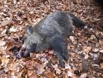 Dieses Wildschwein konnte am 21. November im Thüringer Wald gestreckt werden.