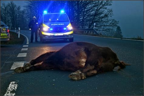 Die Wisentkuh überlebte den Unfall leider nicht.