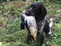 Ein gut ausgebildeter Jagdhund ist in der Lage eine Ente im Wasser zu greifen und ohne das Tier zu verletzen, dem Hundeführer zu bringen.