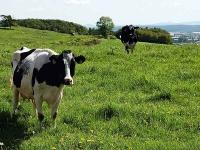 Kühe waren am 15. September  zwischen Stormbruch und Ottlar ausgebrochen.