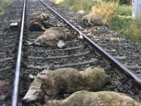 21. Schafe wurden am 12. August auf den Bahngleisen von einem Triebwagen erfasst.