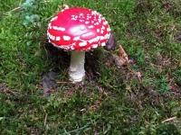 Bei gutem Wetter sprießen derzeit Pilze aus dem Boden.