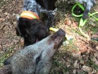 Der Deutsche Wachtelhund wird zum Stöbern auf Schwarzwild und für Nachsuchen von verletztem Wild eingesetzt.