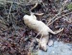 Diese Ricke wurde am 3. März in einem Bachlauf in der Nähe von Eimelrod gefunden. Das Stück weist Bissverletzungen am Genick und am Kopf auf.